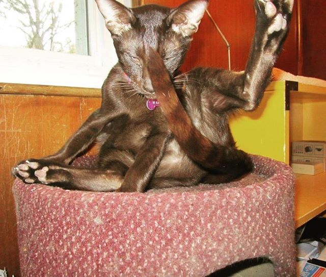 Saturday morning Pilates. #InstaTags4Likes #cat #cats #kitten #kittens #catsagram #catstagram #instagood #pet #pets #animal #exercise #petstagram #petsagram #photooftheday #catsofinstagram #ilovemycat #instagramcats #catoftheday #caturday #fitness #lovekittens #adorable #catlover #instacat #saturday #oriental #tw #pin