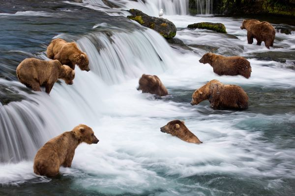Brooks Falls, Alaska..I would not want to be near this ha!Buckets Lists, Michael Melford, Animal Kingdom, Brooks Fall, Fish, Alaskan Water, Brown Bears, Grizzly Bears, Beary Tales