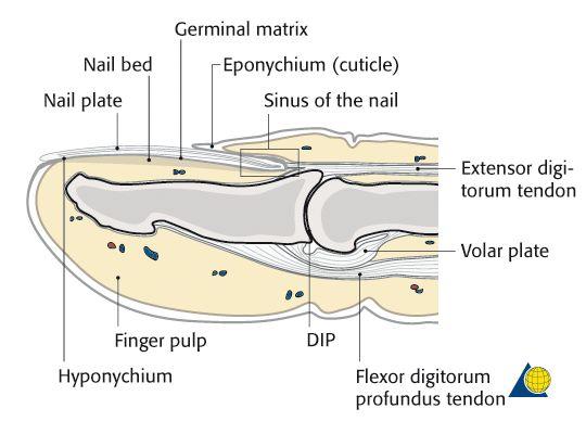phalanx anatomy - Google 검색 | anatomy references - arm | Pinterest