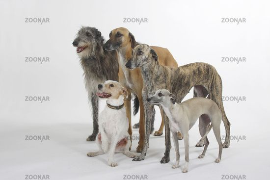 Sloughi / Scottish Deerhound / Whippet / Parson Jack Russell Terrier                                                                                                                                                                                 Mehr