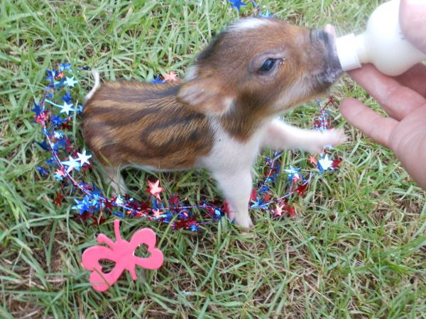 Rare Striped Miniature Teacup Piglets   ...........click here to find out more     http://googydog.com