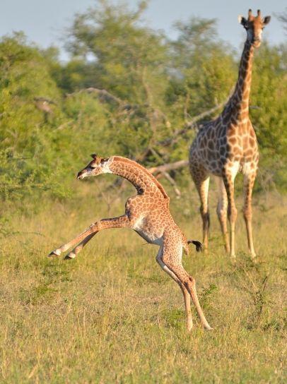 Baby Giraffe   Serengeti National Park