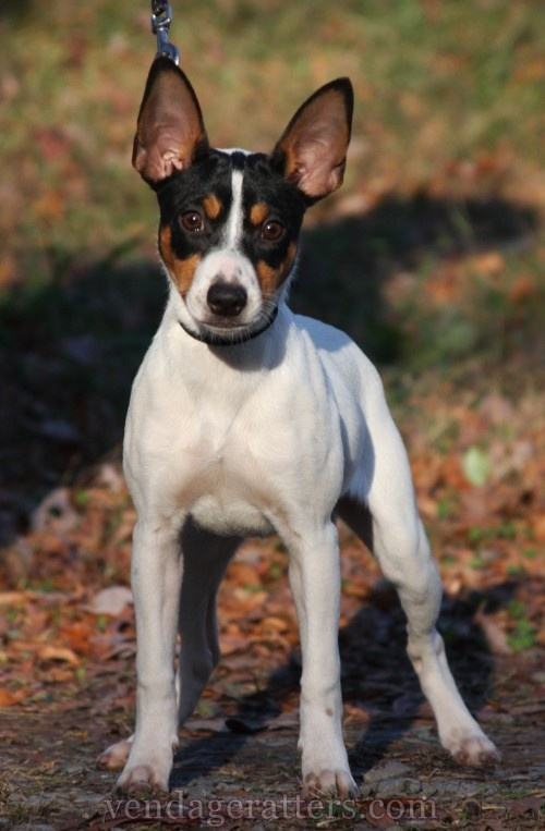 Trolley, 4 month old Rat Terrier  http://facebook.com/vendageratterriers  http://vendageratters.com/