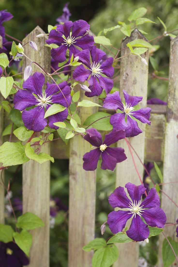 Best Fast-Climbing Vines for Your Garden