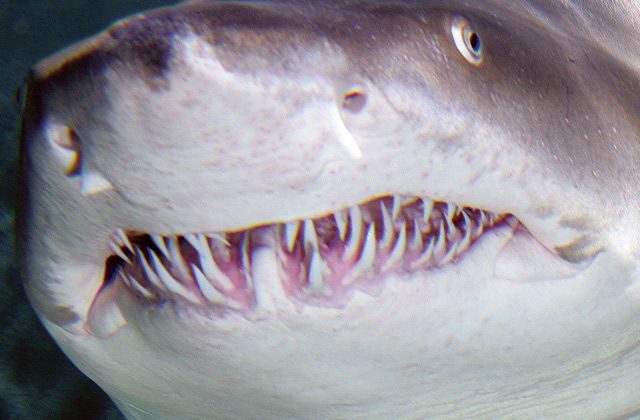Sand Tiger Shark! CHOMP CHOMP CHOMP #sharks #sharkweek