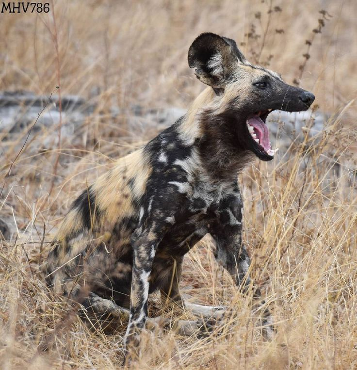 The Wild Dog is probably Africa's most effective predator, boasting and 80% hunt success rate. Visit Madikwe, one of the last bastions of the endangered wild dog:  📷: wildlife.za