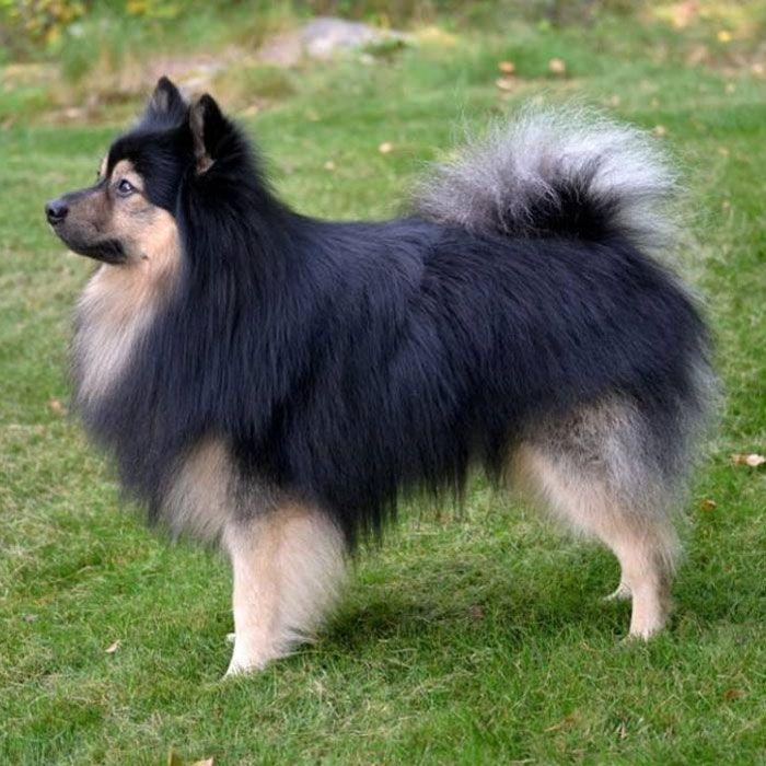 Mittelspitz Black Tan Unser Spitz Deutscher Spitz Ich Liebe Hunde Hunderassen
