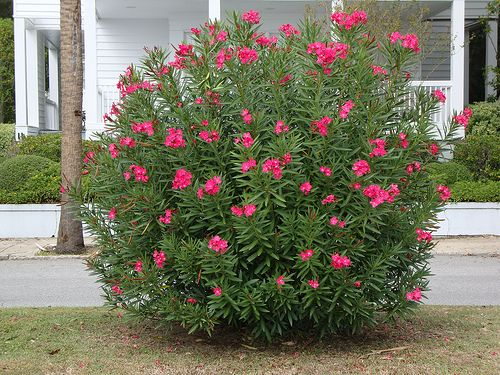 oleander.. new bushes i'm going to line the front of my house with
