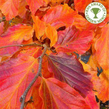 62 Best Parrotia Images On Pinterest Branches Eggplant