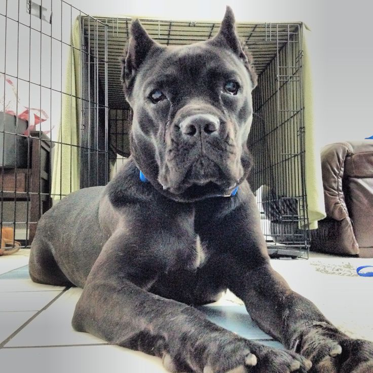Our new Cane Corso. She's 10 months old and a sweetie ...