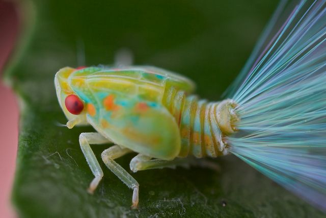 Leaf hopper nymph with iridescent tails...reminds me of those fiber optic flowers