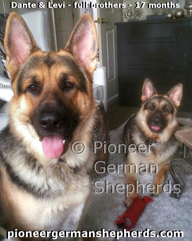Large German Shepherd littermate brothers :)