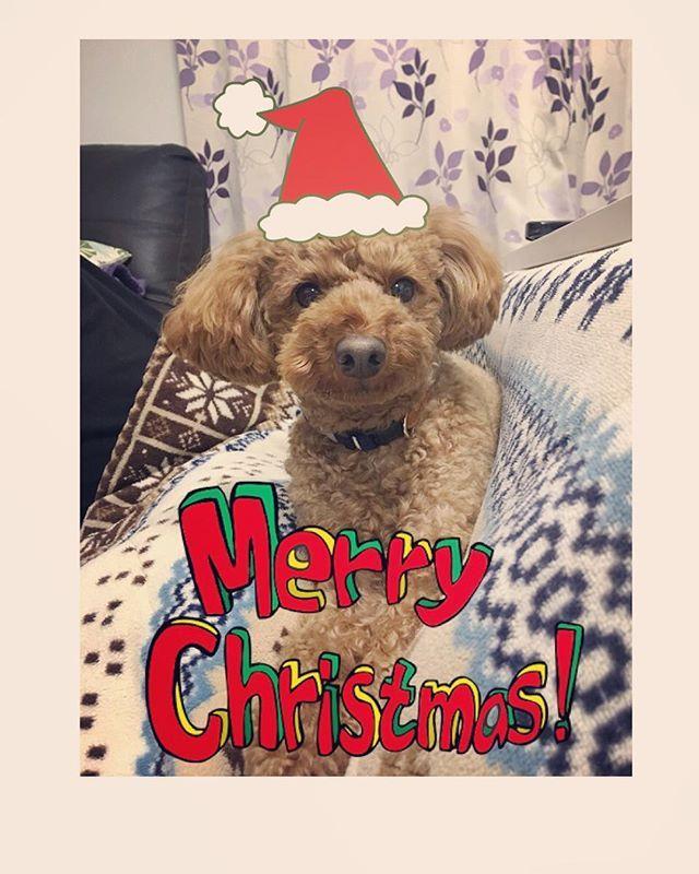 . . 🎄🎅🎄🎅🎄🎅🎄🎅🎄 . . Merry Christmas. . . 🎄🎅🎄🎅🎄🎅🎄🎅🎄 . . . . #merrychristmas#christmas #メリークリスマス#クリスマス #elmo#toypoodle#dog#instadog #mylove#instapoodle#dogstagram #エルモ#トイプードル#トイプー#愛犬 #トイプードル女の子#トイプードル好き#いぬすたぐらむ#サンタ犬