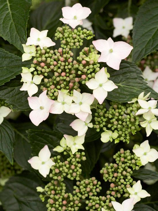 Bits of Lace  Bits of Lace Hydrangea macrophylla features lacecaps of large white florets that are strongly blushed with pink. The large florets surround a lacy group of smaller pink ones. This selection also offers sturdy stems and dark green foliage. It grows 5 feet tall and wide. Zones 5-9