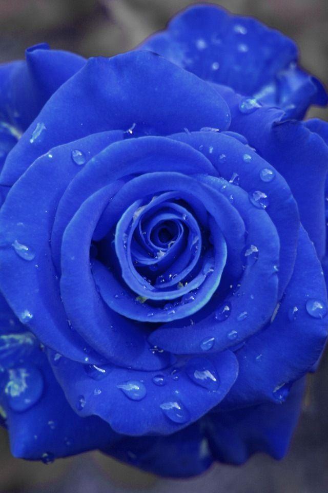 Blue Rose  Rosa✿✄⸙✄❀NO LAS CORTES SÓLO VERLAS EN EL NATURALEZA, TODO SER VIVO TIENE VIDA