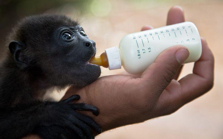 25/05 - Gael, um macaco Howler preto de 2 meses de idade, é alimentado por uma equipe no Centro de Salvamento de um jardim zoológico de Manágua, na Nicarágua. O macaco foi resgatado por caçadores antes de serem levados para o centro