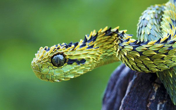 The Bush Viper - Being a carnivore predator, the Bush Viper lives up in the trees of the tropical forests of Africa, and does most of its hunting at night. (Image credits: thegeneralmonk)