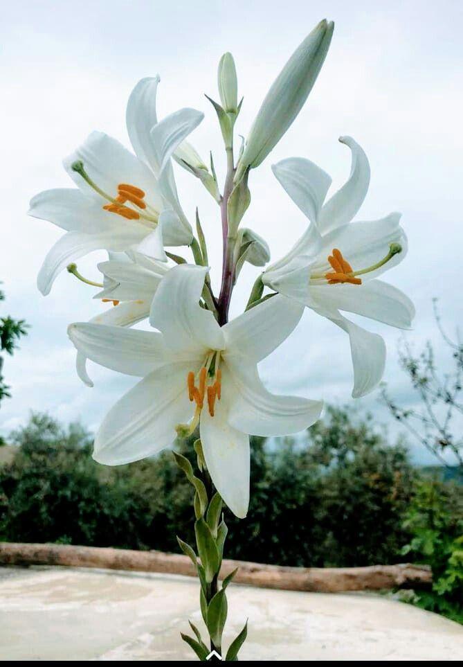 éstas Flores Son Azucenas Las Tiene Mí Cuñada Madrigueras Algodonales Cádiz Día 23 Abril Del Año 2020 Flores Bonitas Azucena Flores Flores Exóticas
