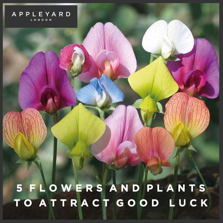 http://www.appleyardflowers.com/blog/5-flowers-and-plants-to-attract-good-luck/ - Old folklore tells tales of flowers that attract good luck into you lives! We've rounded up the 5 luckiest flowers that you may find in your garden at home.