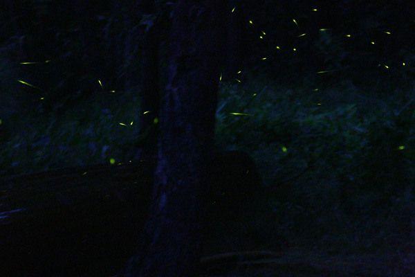 Flashing Fireflies of Kampung Kuantan, Malaysia | Atlas Obscura