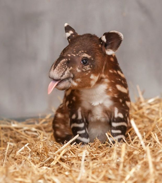 Rare and too cute baby animals – Here's a cute little tapir