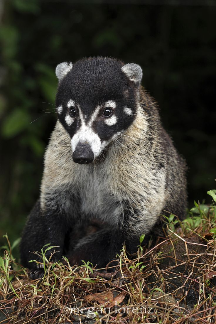 """Photo title is """"Snookum Bear,"""" by Megan Lorenz via 500px, but this is a """"Coati, Arenal Area, Costa Rica -- Coatis are also known as Coatimundi, Brazilian Aardvarks, Mexican Tejón or Moncún, Hog-Nosed Coons, Pizotes, Panamanian Gatosolos, Crackoons and Snookum Bears and they are members of the raccoon family (Procyonidae). They are diurnal mammals native to South America, Central America, and South-Western North America."""" -- I'm loving his ears!"""