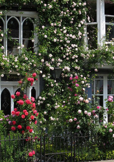 Blush pink climbing rose on cottage in Wales | via Susan R