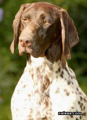 Es un perro de caza polivalente, sin duda la raza más completa y eficiente para la caza, gracias a sus cualidades físicas y aptitudes innatas, destacándose principalmente en:  Encontrar y mostrar las aves elegantemente.