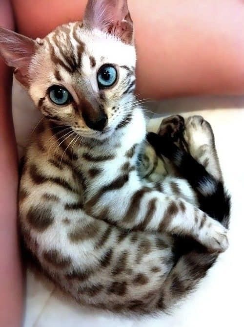 What lovely eyes on this Bengal kitten….