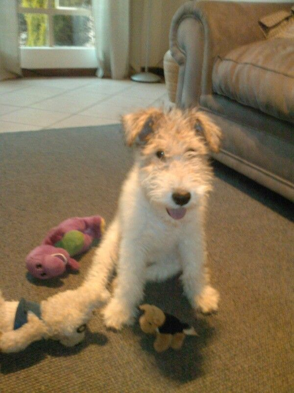 Wire Fox Terrier - Boeta when still a puppy ♥