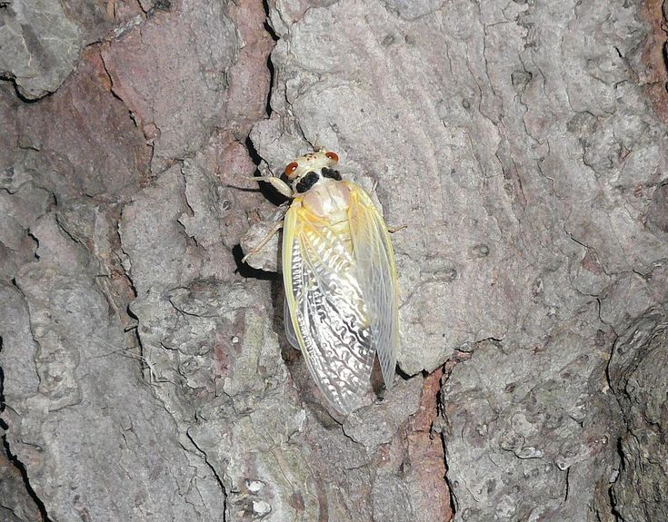Newly molted Brood XIII - Periodical cicadas - Wikipedia, the free encyclopedia