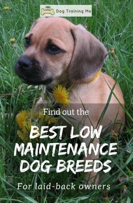 41 New Ideas Dogs Breeds For Apartments Exercise Dogs Low Maintenance Dog Breeds Dog Breeds That Dont Shed Lazy Dog Breeds