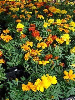 African Marigold (Tagetes erecta)