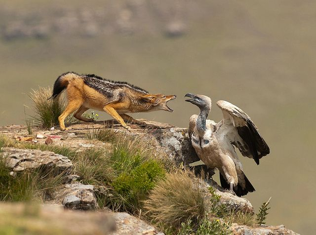 Animals Fighting For Food 17 Best images about J...