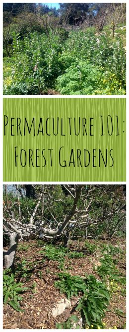 Permaculture 101: Forest Gardens ~ Part 3 in our series, learn all about Food Forests!  www.growforagecookferment.com