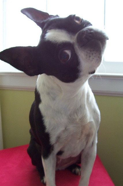 Boston Terrier scepticism