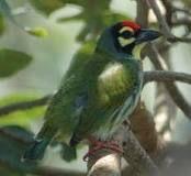 бородастиковые - семейство птиц отряда дятлообразных. Юго-восточная Азия