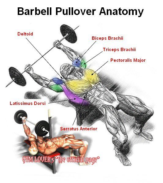 Barbell Curl Anatomy: Anatomy Of .. On Pinterest