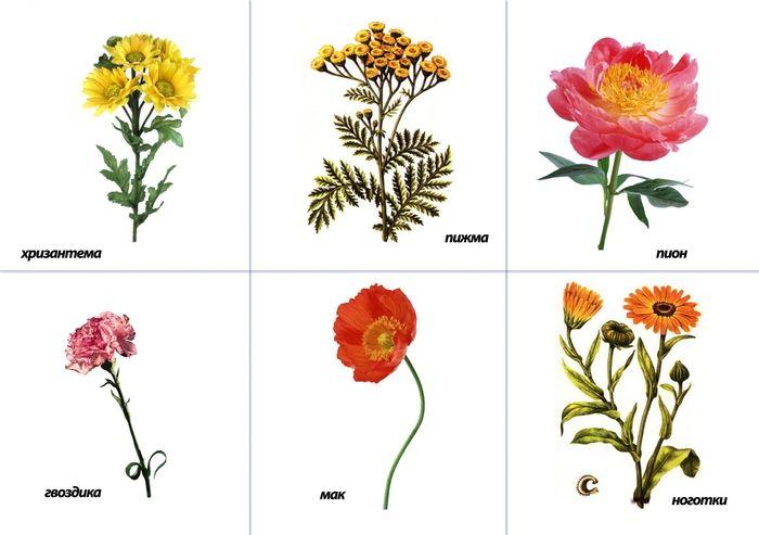 Картинки цветов садовых и полевых, забудь меня