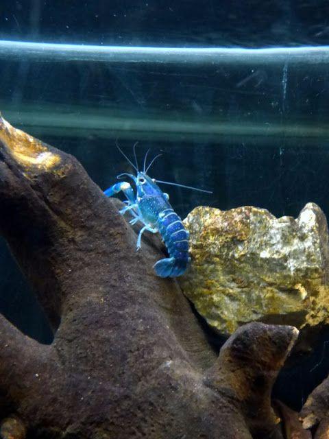 Podróżujemy po Polsce i nie tylko...: Ryby pływające do góry brzuchem, błękitny rak i......