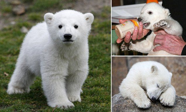 Mystery of Knut the polar bear cub's death is finally solved