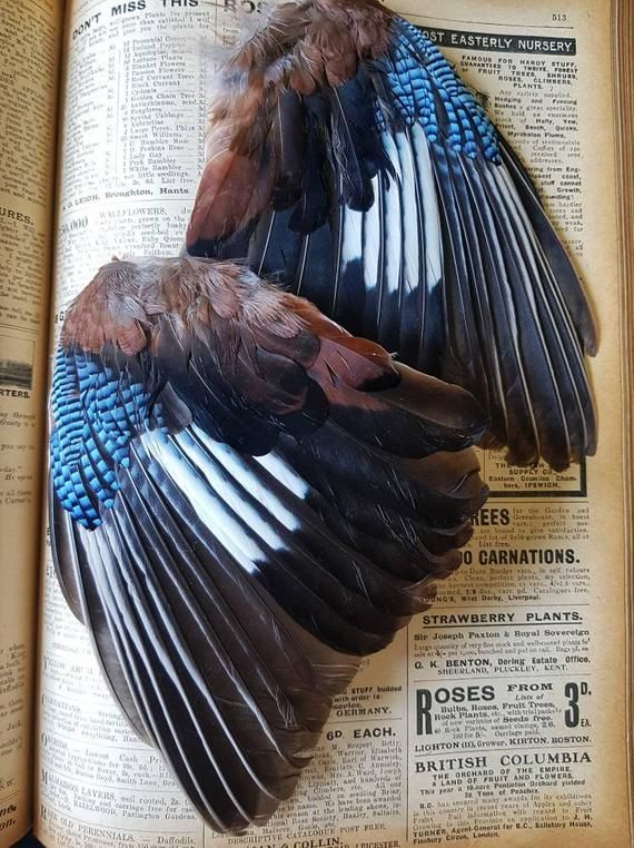 Jay Wings Fly Tying Arts Crafts Taxidermy Curio