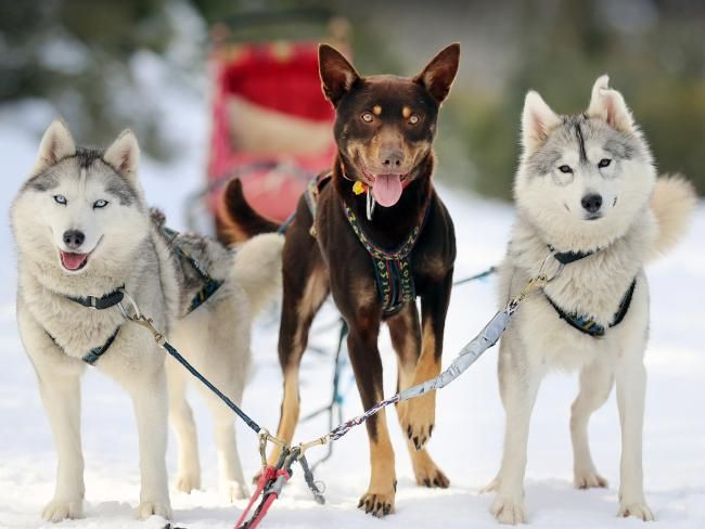 HE may not be your average sled dog but Dusty the rescued Red Dog can't get enough of running on the snow.
