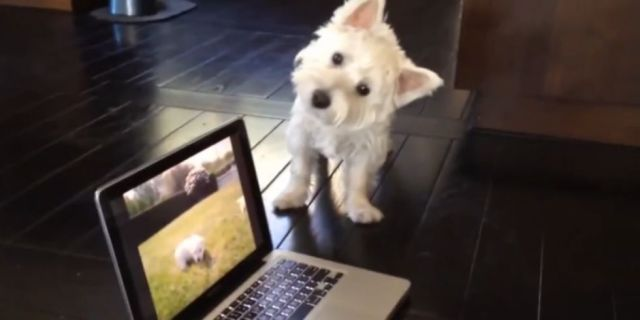 Watch This Adorably Confused Westie Search for Video Puppies in Real Life - WomansDay.com