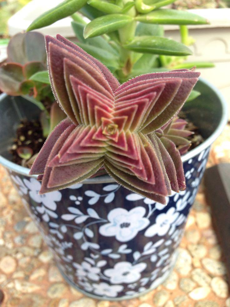 My succulent
