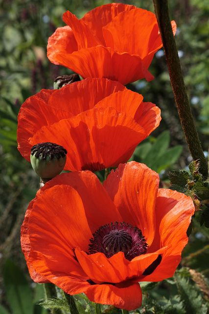 Poppies flower may/june. Can sow seeds in autumn or spring (try both...). Scatter on ground then rake in. Don't bury. Should be just below surface.