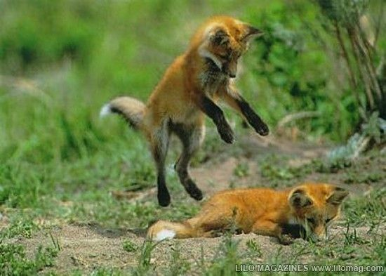 Funny and cute fox montage (better watch your foxhole!)Surpris Buttsex, Laugh, Funny Shit, Funny Pictures, Funny Stuff, Foxes, Sneak Attack, Giggles, Free Image
