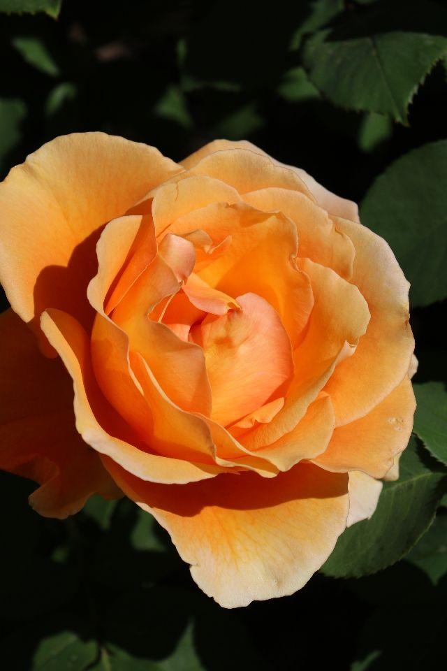 Rose Garden, Mesa Community College, AZ