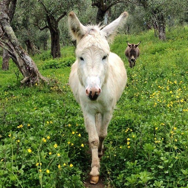 Martino e Mentuccia gli #asini dell'#Agriturismo Al Palazzaccio #Calci presto le nuove #escursioni di #asinochilegge