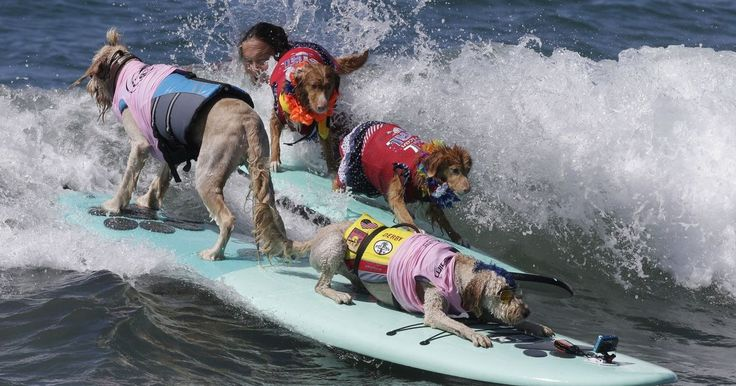 Bakio the dog took part in the ninth annual Surf City Dog even at Huntington Beach in sunny California along with several of his four-legged friends